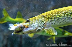 Pike fish hunting and eating by Fotografescu, via Dreamstime