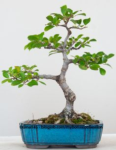 My mother believes I'm obsessed with bonsai. She's not wrong. But when she tells people I've got over a hundred bonsai trees, that's not quite true. Yes, I've got hundreds of trees, but very few of...