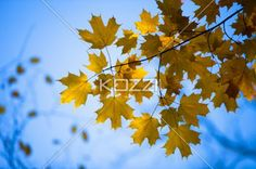 Image of maple leaves against clear sky. Download the photo without watermark @ www.kozzi.com or you can click the image.