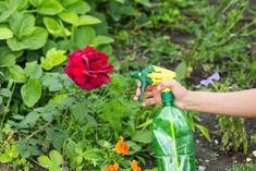 Fotogalerie: Zaútočily na vaši zahradu mšice? Vyrobte si doma vlastní postřik! Fiji Water Bottle, Herbs, Biologique, Gardens, Shrub, Plant, Homemade Insecticide, Bud, Tips