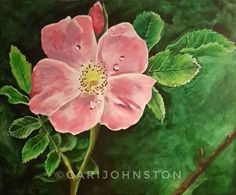 Wild Rose by Cari Johnston   www.facebook.com/CariJohnstonArt/ www.instagram.com/seamariejayart   #art#artist#fineart#traditionalart#drawing#painting#charcoal#graphite#acryclic#rose#wildrose#albertarose#canadianartist