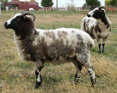 Jacob sheep - (American Jacob) - threatened One of my favorite fleeces to work with.