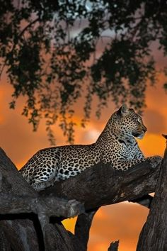 Leopard Resting in a Tree During a Sunset.