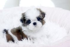 maltese teacup puppies for sale | Teacup Maltese puppy FOR SALE ADOPTION from Los Angeles California ...