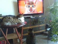I love the way the cats are watching the cat on tv.