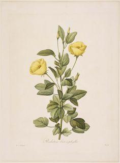 Redutea heterophylla after Pierre Joseph Redouté (1759-1840). Engraved by Rosine-Antoinette Bessin (1807–1876) From 'Choix des Plus Belles Fleurs' (1827). Image and text courtesy MFA Boston