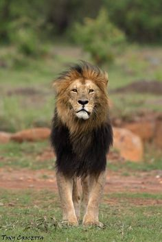 Blackie of the Masai Mara Lion And Lioness, Lion Of Judah, Big Cats, Cute Cats, Lion Family, Lion Love, Black Lion, Male Lion, King Of The World