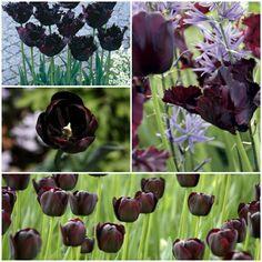 schwarze tulpen tulpen pflanzen tulpen bedeutung