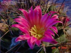 Daily bloom for August 7, 2012: Mammillaria sonorensis 'Craigii'.  Photo by rockminer.