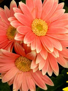 Peach Gerberas, these were my wedding flowers for my bridesmaids. Types Of Flowers, Beautiful Flowers, Margaritas Gerbera, Gerber Daisies, Orange Flowers, Dream Garden, Planting Flowers, Wedding Flowers, Landscape