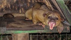 Is the Chupacabra just a Kinkajou? Nocturnal Animals, Cute Animals, Funny Animals, The Chupacabra, Rainforest Habitat, Funny Animal Photos, Animals Photos, Animal Pictures, Weird Creatures
