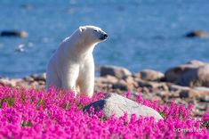 Even though we are used to think of polar bears in their cold environment, they also enjoy summer and the flowers that come with it. Dennis Fast, a Canadian photographer, discovered a polar bear playing with small purple flowers in Canada. Pictures Of Polar Bears, White Polar Bear, Hudson Bay, Arctic Fox, Rare Photos, Churchill, Lions, Cute Animals, Polar Bears