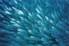 fish | Syed Akbar Journalist: Fish is good for health, but contaminated fish ...