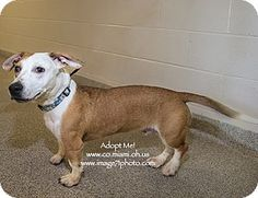 URGENT!  I am at a kill shelter in Troy, OH - Basset Hound Mix. Meet Scooter, a dog for adoption. http://www.adoptapet.com/pet/11063976-troy-ohio-basset-hound-mix