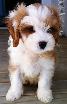 21 Unreal Poodle Cross Breeds You Have To See To Believe - Dogs - Chien Poodle Cross Breeds, Poodle Mix Breeds, Poodle Mix Puppies, Cute Dogs Breeds, Cute Puppies, Toy Dog Breeds, Small Puppy Breeds, Mixed Breed Puppies, Maltese Poodle