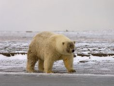 Grolar Bears and Narlugas: Rise of the Arctic Hybrids | OnEarth Magazine