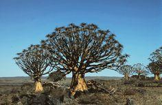 Kokerboom trees (Poker tree trees)