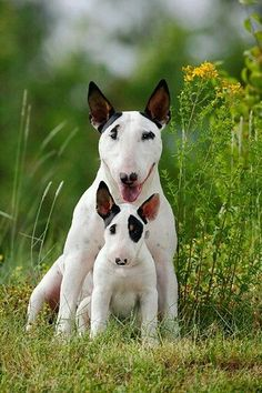 Bull terrier --=-- Chien Bull Terrier, Mini Bull Terriers, Miniature Bull Terrier, English Bull Terriers, Pitbull Terrier, Cute Puppies, Dogs And Puppies, Terrier Dog Breeds, Bullen
