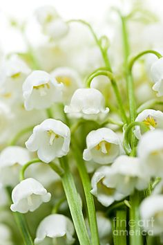 Lily-of-the-valley, my favorite fragrance