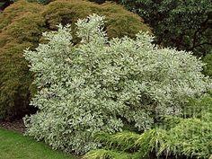cornus alba 'elegantissima' - Google Search