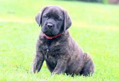 If you are looking for the cutest darn Mini Poodle puppy. Mini Poodle Puppy, Mini Puppies, Mini Poodles, Puppies Puppies, Tabata, Mastiff Puppies For Sale, English Mastiff, Cane Corso, Funny Dogs