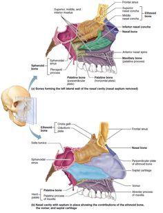 Bones of the nasal cavity. Anatomy Head, Anatomy Organs, Anatomy Bones, Skull Anatomy, Gross Anatomy, Human Skeleton Anatomy, Human Body Anatomy, Female Reproductive System Anatomy, Respiratory System Anatomy