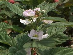 Blackberry plants are versatile in the landscape since they can be grown on a trellis or grown as stand-alone plants.