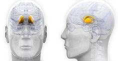 El hipotálamo es una región del encéfalo que se encarga de distintas funciones corporales. Explicamos sus características, funciones y ubicación en el cerebro.