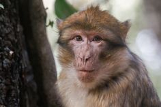 Morocco. Ifrane. Berber Macaque