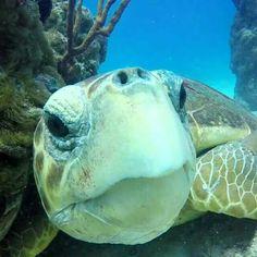 Sea Turtle close-up! Wild Creatures, Ocean Creatures, Land Turtles, Sea Turtles, Ocean Pictures, Ocean Pics, Ocean Art, Reptiles, Fauna Marina
