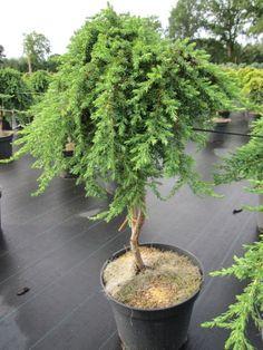 Juniperus communis Green Mantle - Grüner Kriechwacholder Green Mantle - Teppichwacholder - veredelt auf Hochstamm Trees And Shrubs, Trees To Plant, Bonsai, Juniperus Communis, Small Trees, Evergreen, Landscape Design, Ursula, Herbs
