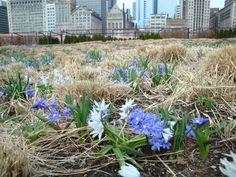 Chionodoxa sardensis (glory of the snow); for lavendar flowers, see Chionodoxa luciliae 'Violet Beauty'