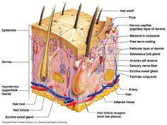 dermatology.Skin anatomy.(dr.darseem)