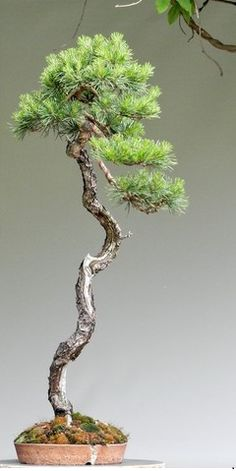 Bunjin by Milan Karpíšek Pine Bonsai, Indoor Bonsai Tree, Juniper Bonsai, Bonsai Garden, Garden Trees, Growing Moss, Small Japanese Garden, Bonsai Styles, Gravel Garden