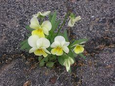 Flowers IN my driveway