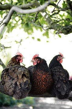 Country Style magazine. Chickens photographed by Alicia Taylor #chickens #farmanimals #countrystyle