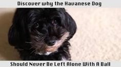 Would you jump at the chance to extend the life of your beloved dog? To discover how, go to http://lovedogs.from.media/go  The Havanese Dog - This breed of dog is amazing!