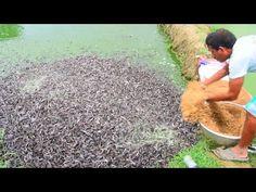 Hybrid Magur Fish Farming Business in India Catfish Farming, How To Make Fish, Fish Breeding, Potluck Recipes, Fresh Water, Youtube, Fashion Sewing, Cairo, Street Food