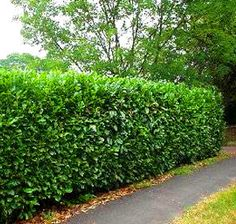 Schip Laurel is a dwarf evergreen shrub that can be grown for a privacy hedge -- I think this is what we have. This will make a good privacy hedge :) Dwarf Evergreen Shrubs, Evergreen Bush, Privacy Landscaping, Garden Landscaping, Privacy Hedge, Landscaping Ideas, Shrubs For Privacy, Residential Landscaping, Gardening
