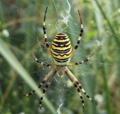 Do We Really Swallow Spiders in Our Sleep? Baba Deep Singh Ji, Spider Species, Garden Spider, Black Garden, Yellow Pattern, Insects, Sleep, Unique, Spiders