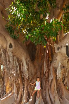 Ficus alley Alicante, huge trees-giants, Valencia, Spain - ALICANTE, SPAIN - SEPTEMBER 9, 2014: Ficus alley Alicante, pedestrian zone in centre of garden with huge trees-giants. Man next to giant ficus, it's a dwarf, Av Loring, Valencia, Spain