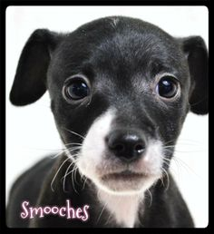 Meet Smooches a Petfinder adoptable Dachshund Dog | Simi Valley, CA | ~~~ Birth date:  03/10/14 ~~~ Please always check our website directly to see if this dog is still available.