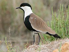 Spur-winged Plover, Goksu Delta, 9-May-10