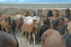 Wild horses captured by federal government so private ranchers' livestock can graze on their land. #SaveAmericasMustangs