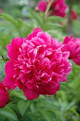 Kansas Peony (Paeonia)--I would like a classic dk. pink, white, and light pink peony somewhere in our yard.