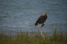 Nirajphotographer: PALLASH FISH EAGLE :: PALLASH SEA EAGLE