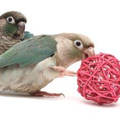 Enrich your conure's life by providing bird toys, an enriched bird cage and home, and lots of foraging food choices. Diy Parrot Toys, Diy Bird Toys, Parrot Pet, Parrot Bird, Budgies, Parrots, Cockatiel, Exotic Birds, Beautiful Birds