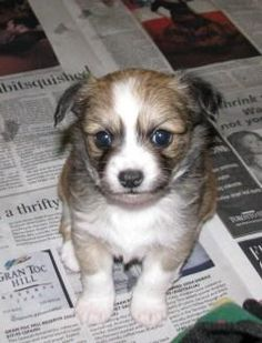 OMG so cuute!!!  Pictures of  Long Haired Chihuahua puppies for sale!