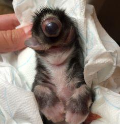 Cycloop-kitten geboren in Veldhoven
