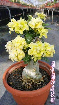 Adenium obesum is a species of flowering plant in the dogbane family, Apocynacea. Adenium obesum i Desert Rose Care, Desert Rose Plant, Desert Plants, Cacti And Succulents, Planting Succulents, Rose Plant Care, Belle Plante, Planting Roses, Beautiful Flowers Garden